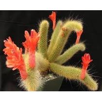 10 Sementes Cactos Rabo De Macaco Cactus Cleistocactus Rosa