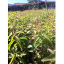 Muda De Eucalipto Citriodora