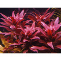 Planta Para Aquario Ludwigia Glandulosa