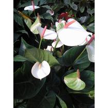 Mudas De Antúrio Ja Com Flor Na Cor Branco E Vermelho