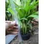 Palmeira Areca Bambu,50 Mudas,vem Touceiras Com15 Mudas Cada