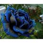 Sementes Rosa Flor Rara E Exótica Rosa Suprema 25 Sementes