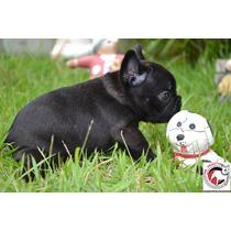 Bulldog Francês Filhote Fêmea Com Pedigree Cbkc