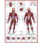 Mapas Do Corpo Humano 120x90 Cm A Sua Escolha Frete R$ 10, 00