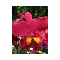Orquideas Blc Owen Holmes