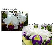 Orquideas Blc Mikkie Nagata X Blc. Anna Balmores
