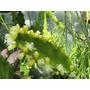 Mudas De Rhipsalis Pachyptera - Cactos & Suculentas