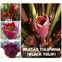 Bastão Tulipinha (black Tulip) - Flores Tropicais
