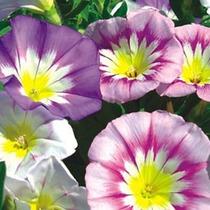 Sementes Flor Convolvulus Tricolor Bela Manhã Frete Grátis