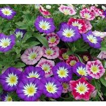 27 Sementes Da Flor Bela Manhã Tricolor Sortida Frete Grátis