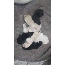Filhotes De Cachorrinho De Raça Labrador