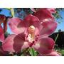 Orquidea Cymbidium Rosa