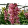 Orquidea Cymbidium Pink