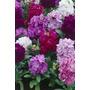 120 Sementes Flor Goivo Imperial Dobrado Sortido Fretegrátis