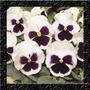 Amor Perfeito Gigante White Purple Sementes Flor Para Mudas