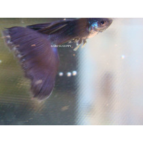 ### Guppy ### ( Lebister ) ### Moscow Purple ###