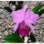 Orquidea Cattleya Trianae Var Rubra Nova Era