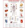 Mapa Do Sistema Circulatório Humano - Artérias Frete Grátis