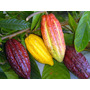 Frutos De Cacau S/ Agrotóxicos Para Plantio Ou Conssumo