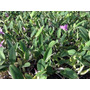 Orquidea Cattleya Walkeriana Tipo (lilás) Que Ainda Floriu