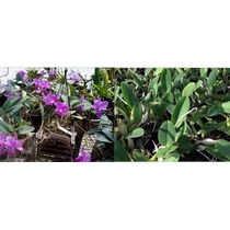 Orquídeas Cattleya Walkeriana Tipo + Brinde