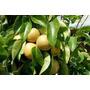 Sementes De Pera Asiática Naxi Pyrus Pyrfolia