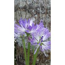 Bulbo De Amaryllis Azul (griffinia)