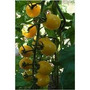 50 Sementes Mini Tomate Cereja + Manual Plantio Frete Grátis