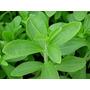 50 Sementes De Stévia Adoçante - Mudas Plantio Flor Raras