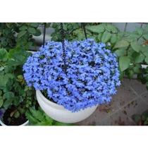 3000 Sementes Lobélia Azul Belíssima P/ Jardim E Vasos!