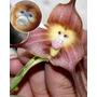 Orquídeas Cara De Macaco 10 Sementes +frete Grátis!