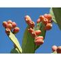 100 Sementes De Figo Da India - Frete Grátis