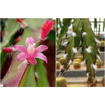Mudas De Rhipsalis Cruciformis - Cactos & Suculentas