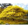 10 Sementes De Ipê Amarelo - Tabebuia Vellosoi Frete Grátis