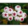 20 Sementes Da Tasmânia Frutas Snowberry Deliciosas Raras