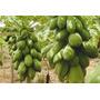 100 Sementes Mamão Formosa Gigante Mais Frete Gratis