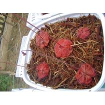 150 Sementes De 4 Especie De Drosera - Planta Carnívora