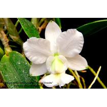 Cattleya Walkeriana Var. Alba Hi