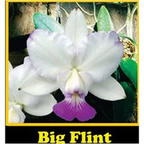 Cattleya Walkeriana Suave Big Flint - Meristema