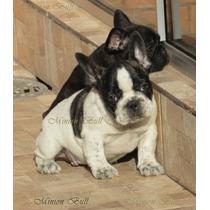 Bulldog Frances Femea Linda Excelente Padrao