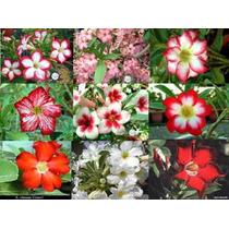 Rosa Do Deserto - Mudas De Adenium - Mudas De Flores
