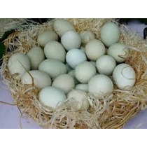 Indio Gigante (ovos Galados/ferteis) Somente Ovos Azuis.