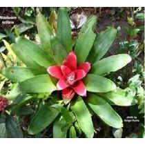 Bromélia Nidularium Nativa