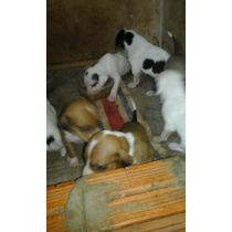 Filhotes De Fox Hound Americano Com Dog Argentino.
