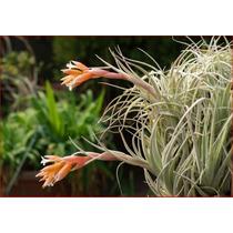 03 Mudas De Bromélia Tillandsia Recurvifolia (meridionalis)