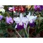 Orquídea Lc. Mem. Robert Strait Blue