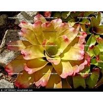 Bromelia Neoregelia Cruenta P/ Jardim Vertical Frete Gratis