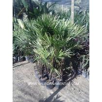 Palmeira- Ráfia (2 Astes)