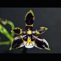 Muda De Orquídea,multiflora, Flores Pretas,fácil Cultivo