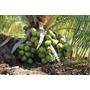 Coqueiro Anão Precoce Adulto Com 3,5 M